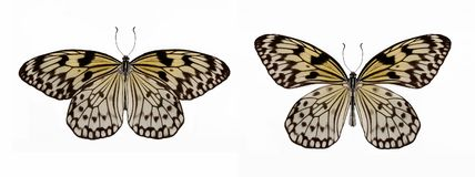 Free Set Of Two Beautiful Butterflies Idea Leuconoe Royalty Free Stock Photo - 110018115