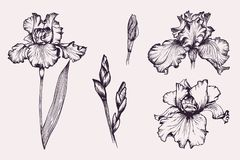 Free Set Of Violet Iris Botanical Flowers In Vector. Royalty Free Stock Photos - 158911238