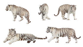 Set Of White Tiger. Over White Stock Image