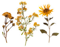 Free Set Of Wild Dry Pressed Flowers And Leaves Royalty Free Stock Photography - 56286087