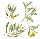 Set of Olive branches with leaves watercolor illustrations Stock Photo