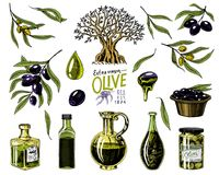 Set of Olive oil and branch of trees. Organic vegetarian product in bottle. Green plant for healthy diet. Black fruit. For cooking food. Engraved hand drawn in Royalty Free Stock Images