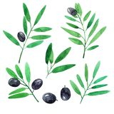Set of olives branches. Watercolor illustration royalty free illustration