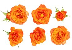 Set of orange rose flower and leaves stock photo