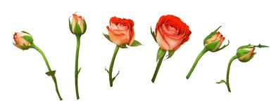 Set of orange rose flowers and buds. Isolated on white royalty free stock photos