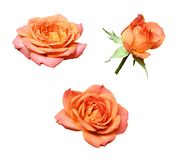 Set of orange rose flowers stock photos