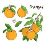 Set with oranges Royalty Free Stock Image