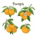 Set with oranges Stock Photos