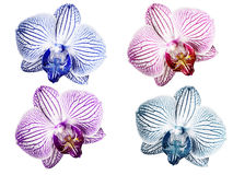 Set Orchids blue-white pink-white violet-white turquoise-white flowers. isolated on white background with clipping path. Closeup royalty free stock photos