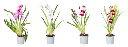 Set of orchids in flowerpots Royalty Free Stock Photography