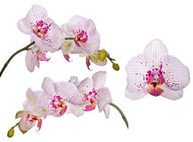 Set of orchids with pink spots and lines Royalty Free Stock Photo