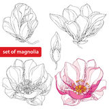 Set with ornate magnolia flowers and buds on white background. Floral elements in contour style.  stock illustration