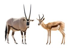 Set of oryx and springbok portraits. Isolated on white background Royalty Free Stock Photos
