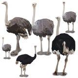 Set of ostrichs Stock Photos