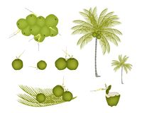 Set of Palm Tree with Green Coconuts Royalty Free Stock Photo