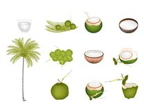 Set of Palm Tree with Green Coconuts Royalty Free Stock Image
