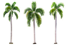 Set of Palm trees isolated on white background Royalty Free Stock Photography