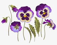 Set of pansy flowers Stock Image