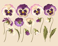 Set of pansy flowers Royalty Free Stock Image