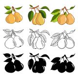 Set of pear. Color, monochrome and silhouette variants. Fresh vegetables vector concept. A healthy diet is a flat style of illustr