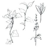 Set of pencil drawing herbs and leaves Stock Images