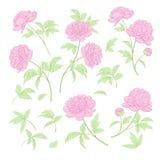 Set peonia kwitnie elementy Zdjęcia Stock