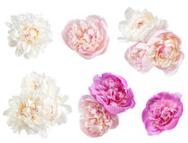 Set of peonies flower Royalty Free Stock Photography