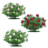 Set of peony bushes with green leaves and flowers Royalty Free Stock Photography