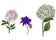 Set with peony, clematis and phlox flowers, leaves and stems isolated on white background. Botanical  illustration Stock Photography