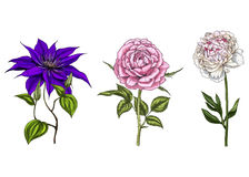 Set with peony, clematis and rose flowers, leaves and stems isolated on white background. Botanical  illustration Stock Photography