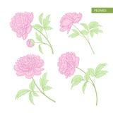 Set of peony flowers elements. Stock Image