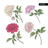 Set of peony flowers elements. Royalty Free Stock Photos
