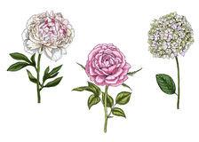 Set with peony, rose and phlox flowers, leaves and stems isolated on white background. Botanical  illustration. Set with peony, rose and phlox flowers, leaves Stock Image