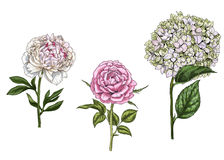 Set with peony, rose and phlox flowers, leaves and stems. On white background. Botanical Royalty Free Stock Image