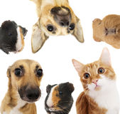 Set of pets peeking Royalty Free Stock Photography