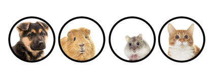 Set of pets. Puppy and kitten and guinea pig, set of pets Royalty Free Stock Image