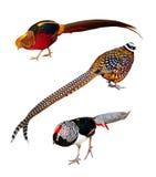 Set of Phasianidae birds. Isolated over white Royalty Free Stock Photo