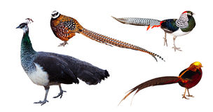 Set of pheasant family birds. Isolated over white. Background royalty free stock image