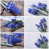 Set of photo beautiful blue muscari flower Royalty Free Stock Images