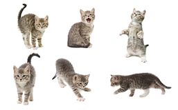 Set of photos of a cute little grey color playful kitten isolate. D on white Royalty Free Stock Photography