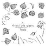 Set of Physalis hand drawn patterns with berries, lives, and branch in black color on white background. Retro vintage graphic. Design Botanical sketch drawing stock illustration