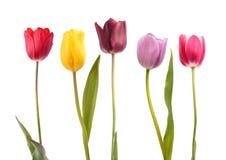 Set pięć różnych kolorów tulipanów Zdjęcie Stock