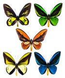 Set pięć tropikalnych Ornithoptera birdwing motyli odizolowywających Obrazy Royalty Free