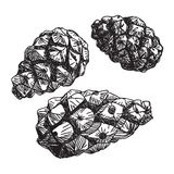 Set of pine cones. black contour on a white background. Sketch. Stock Photos