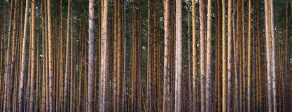 Set of pine trunks Stock Photography