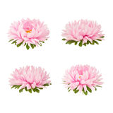 Set of pink aster flowers isolated on a white. Background
