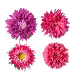 Set of Pink asters Flowers Royalty Free Stock Image