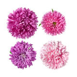 Set of Pink asters Flowers Stock Images