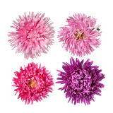 Set of Pink asters Flowers Stock Photos