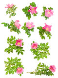 Set of pink briar isolated Royalty Free Stock Photos